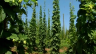 Hop-Harvest-0826-3