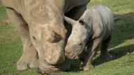 Southern White Rhino Calf at San Diego Zoo Safari Park