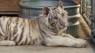 white-tiger-cub-alpine_LTBpic