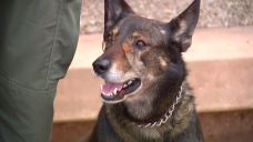 Stabbed SD Sheriff's K9 Expected to Make Full Recovery