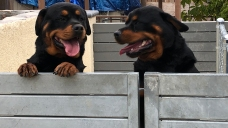 Toddler, Mother Bitten by 2 Escaped Rottweilers in La Mesa