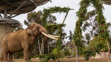 50-Year Old Elephant Euthanized at San Diego Zoo