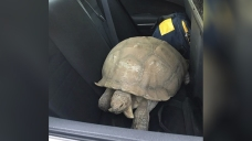 CHP Helps Reunite 250-Pound Tortoise With Owners in Santa Ynez