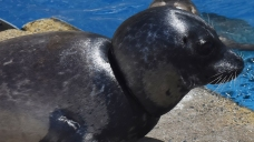Harbor Seal's Wound 'One of Worst' Seen by SeaWorld Crew