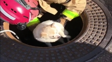 Dog Trapped for Days in Storm Drain
