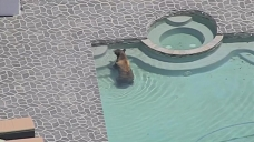 Bear Takes Dip in Backyard in Granada Hills