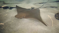 Nearly 60 Stung by Stingrays in Coronado