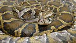 Counter Intelligence: Fla. to Unleash Python Hunters