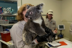 SD Zoo's New Koalas Get Check-Up