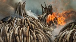 Kenya Burns $150M Worth of Ivory