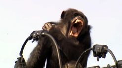Chimp Leads Police on Chase Through Japanese City