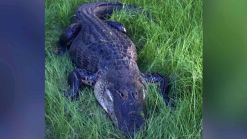 Florida Man Survives Gator Attack After Shooting Animal in Head