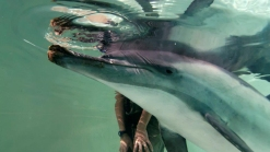 Dolphin With Broken Jaw Rescued by SeaWorld Dies