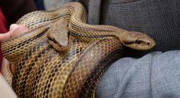 Snakes Crawl From Pants Pocket, Cause Crash