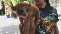 Exotic Kinkajou Attacks Florida Man
