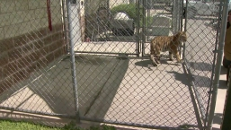 Couple Finds Pet Tiger Roaming Texas Neighborhood