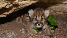 Litter of 4 Mountain Lion Kittens Discovered in Simi Hills