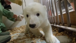 Adorable Polar Bear Cub Gets Checkup at Berlin Zoo