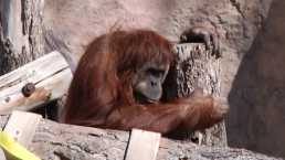 New Orangutan Baby Expected At Zoo