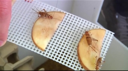 WATCH: Chocolate Covered Crickets, Anyone? Edible Insects on the Rise