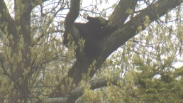 Out on a Limb: Bear Hides Out From Cops in Mass. Tree