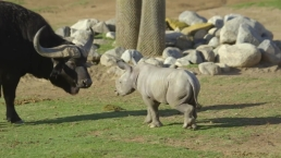 Meet Justin, The Newest Rhino at The Safari Park