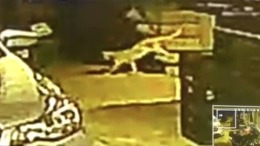 Watch: Mountain Lion in Lakeside Family's Yard