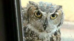Owl Cam Captivating The Web