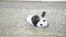 Baby Panda Tries to Turn Over in Adorable Viral Video