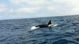 Killer Whales Spotted in San Diego
