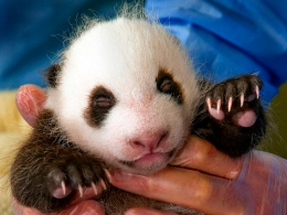 Dub the Cub: It's Time to Name the Panda