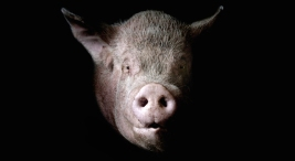 Texas Confirms First Swine Flu Death of U.S. Resident