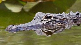 Alligator Kills Texas Man During Late-Night Swim