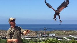 Calif. Resort Uses Falcons As 'Bouncers' to Combat Seagull Population