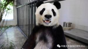 San Diego Zoo's Giant Pandas Return Safely to China