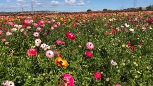 Carlsbad Flower Fields Open for 2018 Season