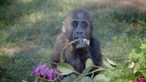WATCH: Baby Gorilla's First Birthday