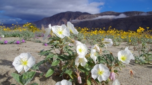 Signs Point to Banner Bloom for Desert Wildflowers
