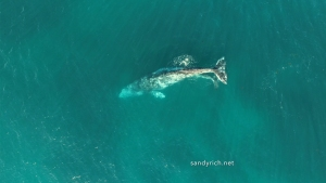 Watch: Drone Video of Gray Whales off La Jolla