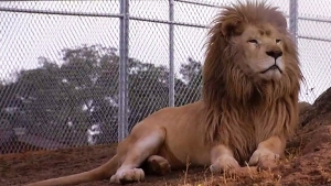 A New Space for Louie the Lion