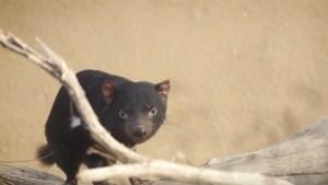 I Am 'McLovin': Tasmanian Devils Join San Diego Zoo