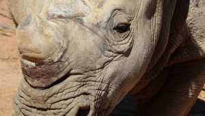 6 Southern White Rhinos Named: Safari Park
