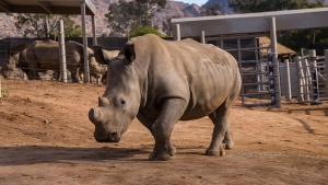 Southern White Rhino Treated for Suspected Bullet Wound