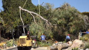 One of Garden's Oldest Trees Falls Victim to Winds