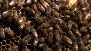 'Zombie' Bee Parasite Threatens Already Struggling Bee Population