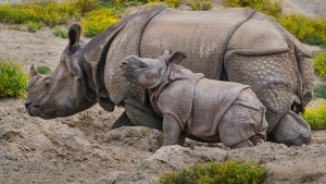 Greater One-Horned Rhino Calf Debuts