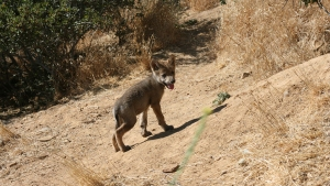 7 Endangered Mexican Gray Wolf Pups Born in Julian