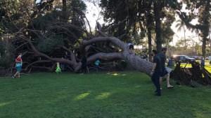 Massive Tree Falls in Coronado Park