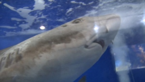 Researchers Believe Virgin Shark Births Occurred in Japan