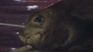 "Sea Lion With ""Vicious"" Wound Appears in Marina"